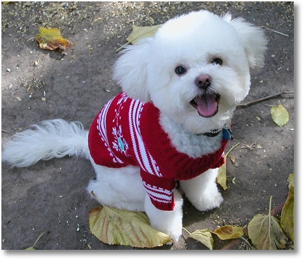 Dog Sweater Knitting Patterns Dog Sweaters And Free Dog Sweater