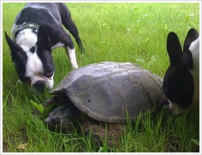 pix-shep-turtle